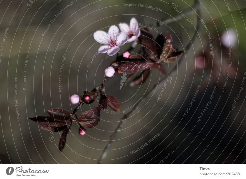 Blutpflaume Baum Pflanze Blatt Blüte Frühling Park rosa Sträucher zart Blühend Zweig