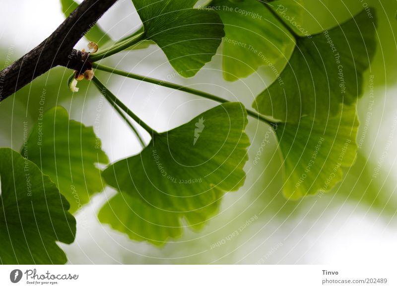 Ginkgo 3 Natur Frühling Pflanze Blatt Park grün fächerförmig Fernost Zweig Baum des Jahrtausends Kerben Laubbaum Wachstum Farbfoto Außenaufnahme Nahaufnahme