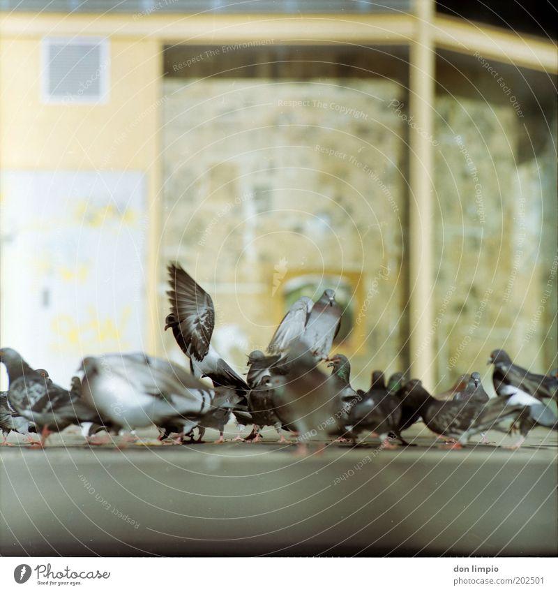 Tauben 3 Natur Stadt Haus Bewegung Vogel Tierpaar fliegen frei Platz Feder bedrohlich wild Flügel Tiergruppe Lebewesen viele