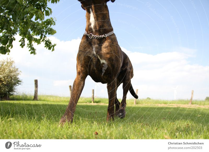 Boxerbrust Natur Himmel grün blau Sommer schwarz Wolken Tier Wiese Gras Hund braun Kraft Schönes Wetter Haustier Boxer