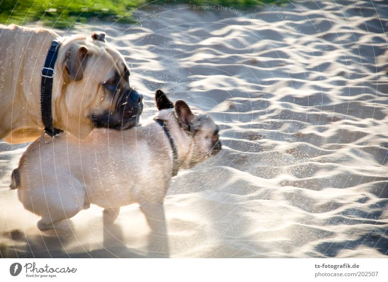 Foto-Finish Natur Strand Tier Spielen Gras Glück grau Hund Park Sand Freundschaft braun Zusammensein Kraft laufen rennen