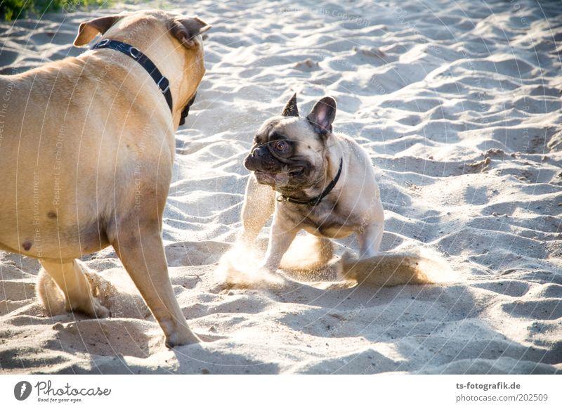Los, spiel mit mir! Natur Strand Tier Spielen Gras grau Hund Sand Freundschaft braun Kraft Tiergesicht bedrohlich Lebensfreude Neugier niedlich