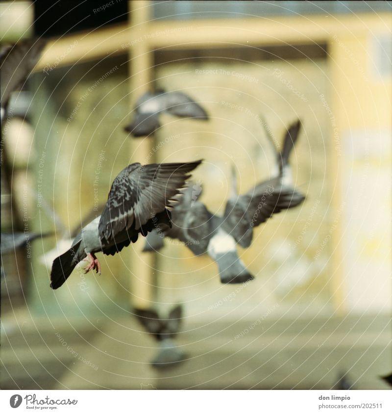 Tauben 4 Natur Tier grau Bewegung Vogel fliegen Platz frei wild Flügel Feder nah Experiment Unschärfe stagnierend