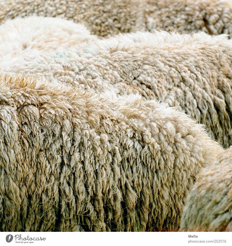 Voll Schaf Tier Zusammensein Tiergruppe nah einfach Fell Landwirtschaft Wolle Herde Nutztier Viehzucht Rohstoffe & Kraftstoffe