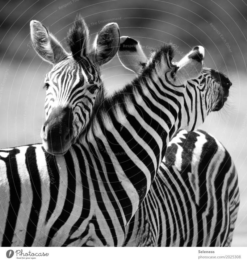 BFF harmonisch Wohlgefühl Zufriedenheit Ferien & Urlaub & Reisen Tourismus Ausflug Abenteuer Ferne Freiheit Safari Sommer Sommerurlaub Tier Wildtier Tiergesicht