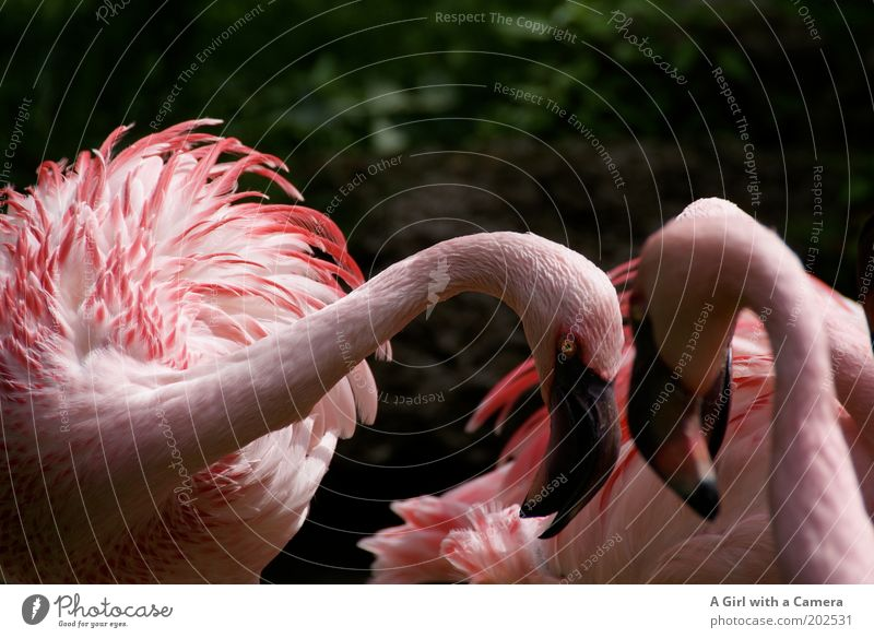 Schau mir in die Augen ..... Natur Tier Vogel Flamingo Tiergruppe rosa Aggression exotisch Farbe auffordern Brunft Afrika Schnabel abstrakt Zoo kämpfen Farbfoto