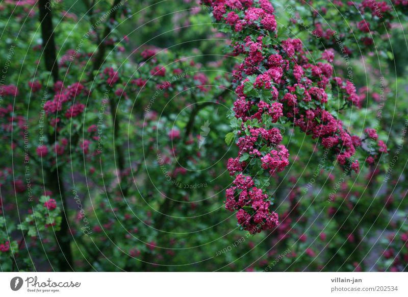 Blüten Natur Pflanze Baum Grünpflanze Blühend Wachstum nass grün violett rosa Umwelt Farbfoto Außenaufnahme Menschenleer Schwache Tiefenschärfe Tag