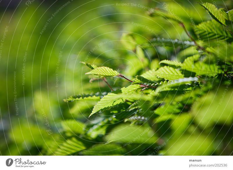 Hecke Natur Frühling Sommer Sträucher Blatt Grünpflanze Buchenblatt grün Umwelt Wachstum Farbfoto Außenaufnahme Strukturen & Formen Textfreiraum links