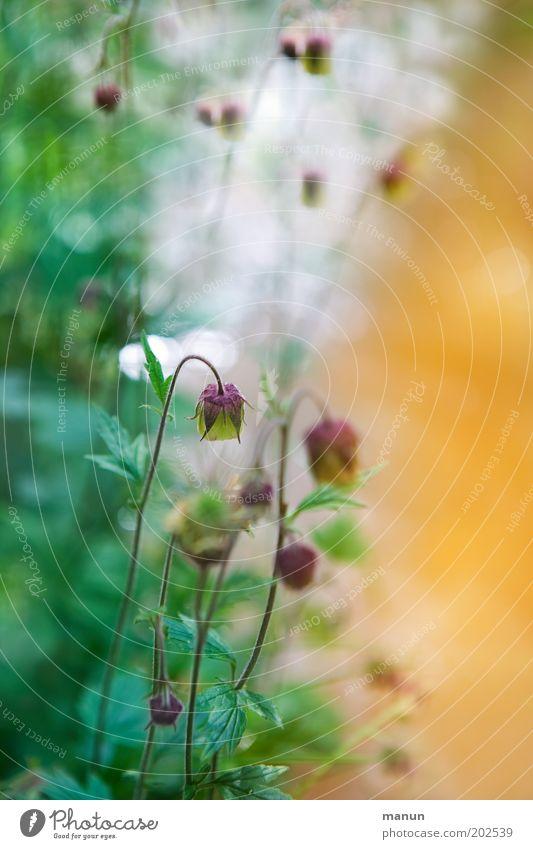Bachblüten Natur Frühling Sommer Pflanze Blume Gras Sträucher Wildpflanze Bachufer Moor Sumpf Blühend exotisch positiv grün Umweltschutz orange Bach-Nelkenwurz
