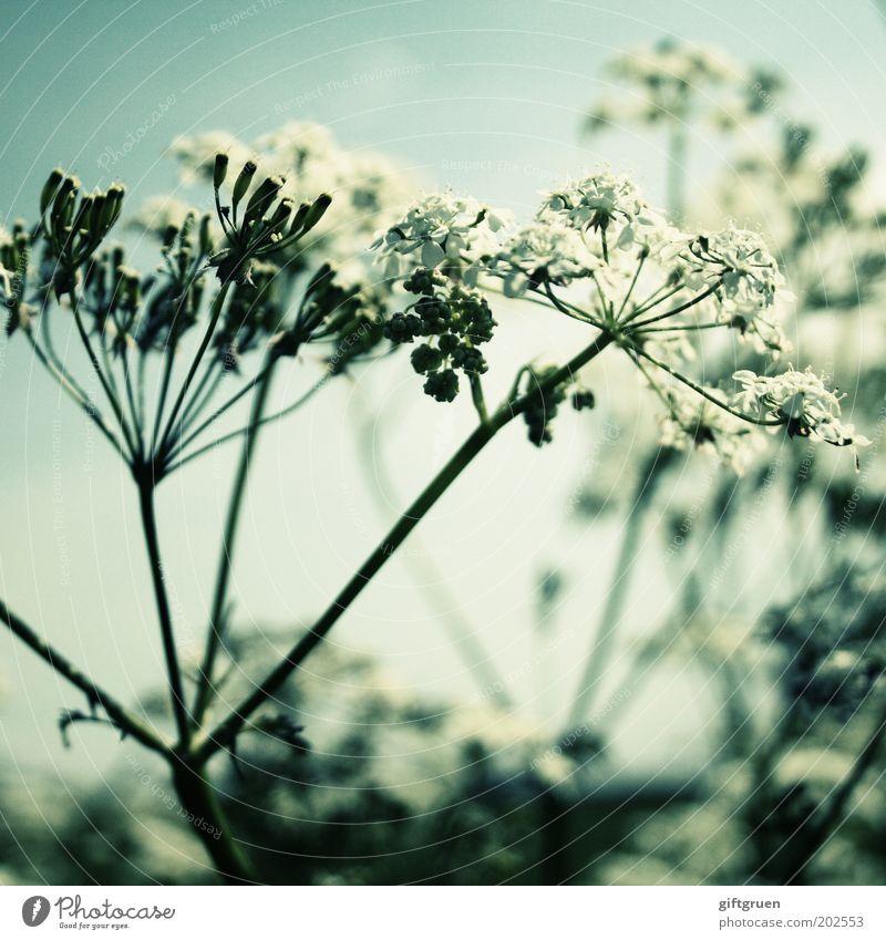 sommer Natur schön weiß Blume Pflanze Sommer Blüte Frühling ästhetisch Wachstum einfach natürlich Stengel Blühend Botanik Biologie