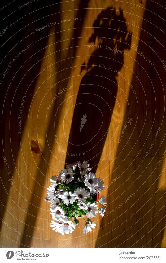 Blümschn Blume Blüte Topfpflanze Holz Blühend Vogelperspektive Tisch Tischdekoration Dekoration & Verzierung weiß Margerite Blumenstrauß Farbfoto Innenaufnahme