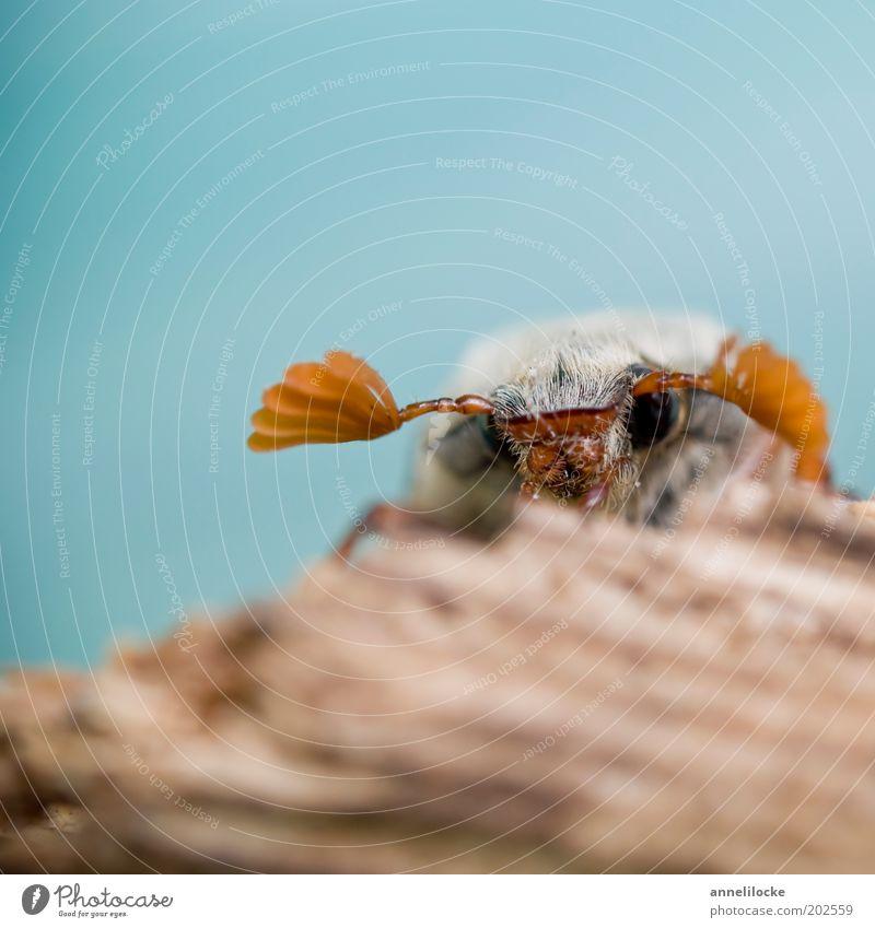 ein wenig schüchtern Natur blau Auge Tier braun klein sitzen Tiergesicht Flügel Insekt Wildtier niedlich Käfer Fühler krabbeln