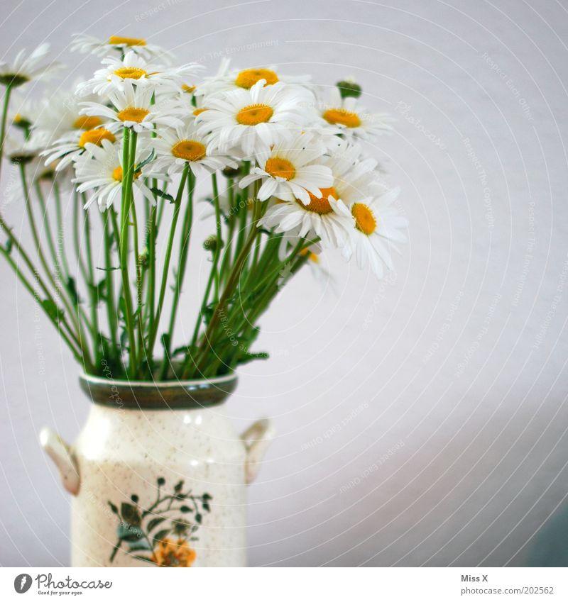 Nostalgie Blume Pflanze Blüte hell Dekoration & Verzierung rein Blühend Duft Vase Margerite