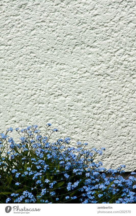 Vergisses! blau Blume Blüte Blühend Frühling Frühblüher Vergißmeinnicht myosotis sylvatica Raublattgewächs Stauden Bodendecker Romantik Putz rauhputz weiß Mauer