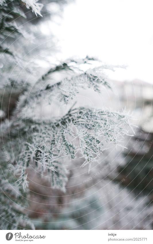 stechende Kälte Umwelt Natur Winter Klima Wetter Eis Frost Zweig Tannenzweig Nadelbaum Garten Park Eiszapfen kalt gefroren Winterstimmung Farbfoto Außenaufnahme