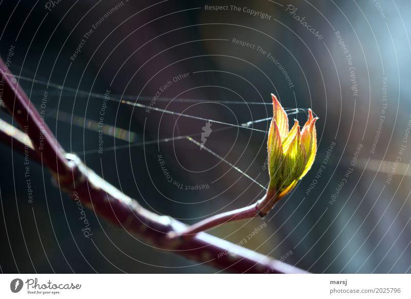 Gut vernetzt Natur Frühling Pflanze Blatt Hartriegel Blattknospe Ast leuchten authentisch Zusammensein grün Frühlingsgefühle Mut Tatkraft Sicherheit Hoffnung