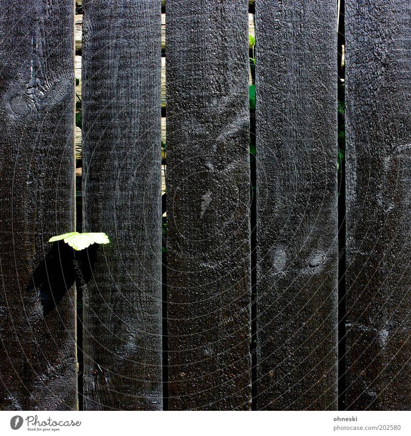 Durchbruch Pflanze Blatt Grünpflanze Zaun Bretterzaun Holzbrett Lack dunkel Farbfoto Tag Licht Schatten Sonnenlicht Barriere Grundstücksgrenze Holzzaun