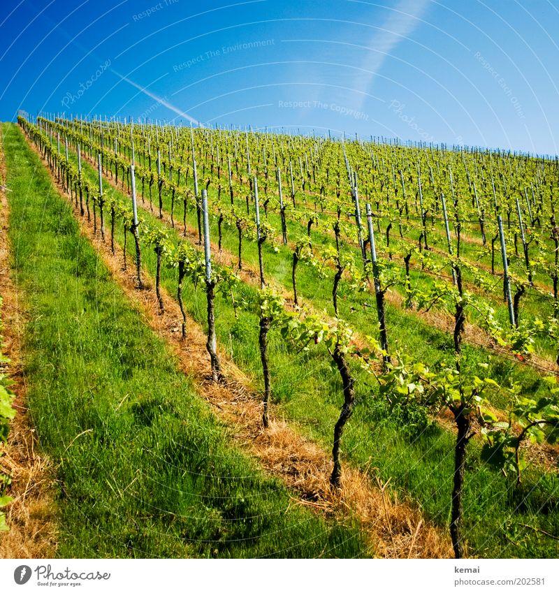 Kerner Umwelt Natur Landschaft Himmel Sonnenlicht Frühling Sommer Klima Schönes Wetter Wärme Pflanze Gras Grünpflanze Nutzpflanze Weinberg Wachstum neu blau