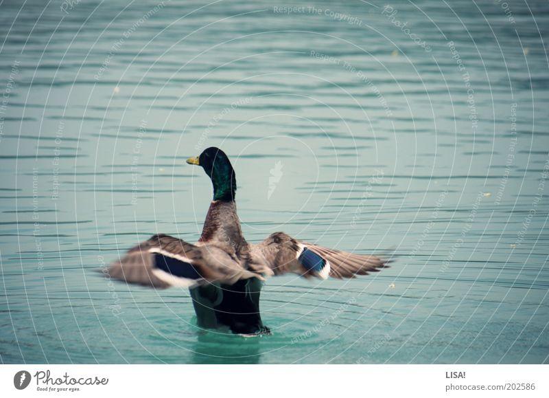 ente ente ente ente ente Wasser weiß blau schwarz Tier grau See braun Vogel ästhetisch Flügel Schwimmen & Baden Wildtier Urelemente Ente