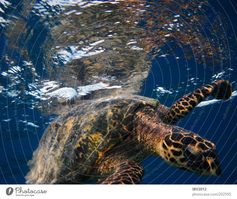 Hallo, Nachbar... Ferien & Urlaub & Reisen Freiheit Meer Wasser Schildkröte Idylle Malediven Asien Unterwasseraufnahme Farbfoto Wasserschildkröte
