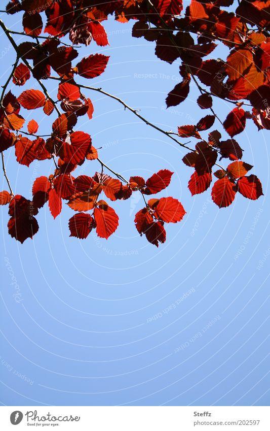 rote Haselnussblätter Himmel blau Blauer Himmel Wolkenloser Himmel dunkelrot weinrot Blauer Hintergrund Schönes Wetter dekorativ ästhetisch natürlich himmelblau