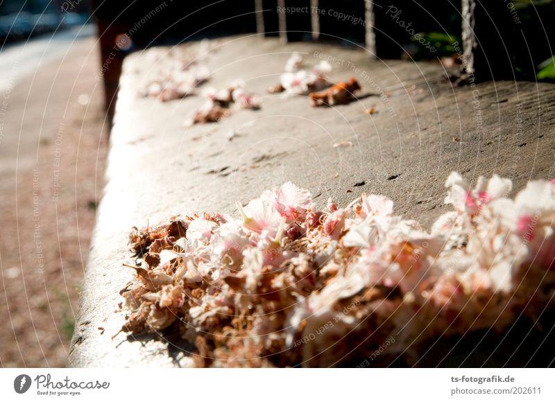 Schwere Verblühung Frühling Sommer Pflanze Blüte Kastanienblüte verblüht Zaun Stein Beton trocken weich grau rosa weiß zart zerbrechlich Perspektive Traurigkeit