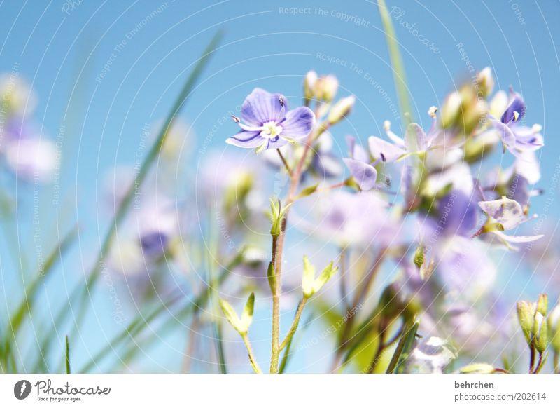babyblau Natur schön Himmel Blume blau Pflanze Sommer Wiese Blüte Gras Frühling Garten Landschaft Feld Umwelt Wachstum