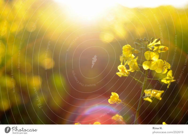 Raps im Gegenlicht Natur gelb Frühling Feld Umwelt Lebensfreude natürlich Blühend leuchten Landwirtschaft Duft Wissenschaften Gegenlicht Raps Energiewirtschaft nachhaltig