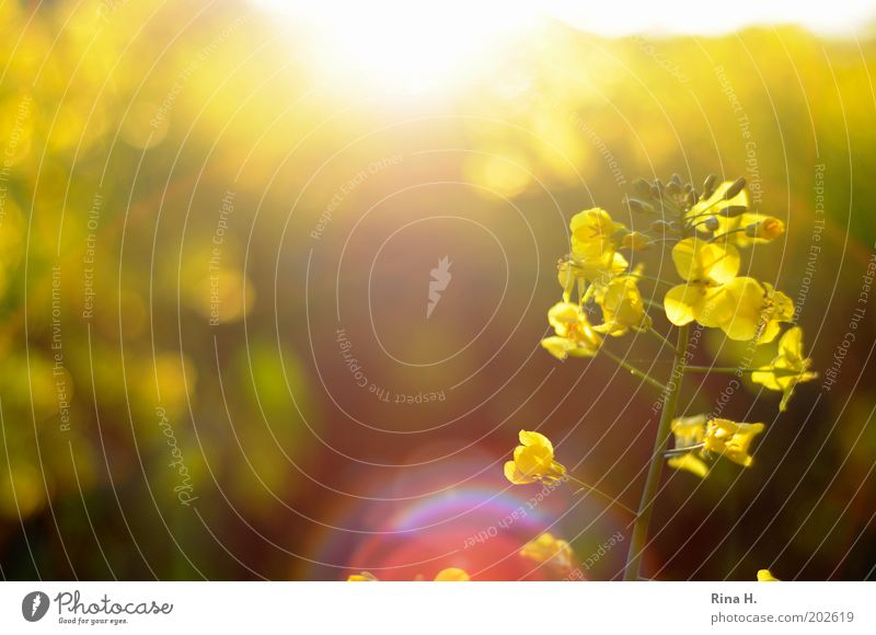Raps im Gegenlicht Umwelt Natur Frühling Nutzpflanze Rapsfeld Rapsanbau Feld Blühend leuchten nachhaltig natürlich gelb Lebensfreude Landwirtschaft biologisch