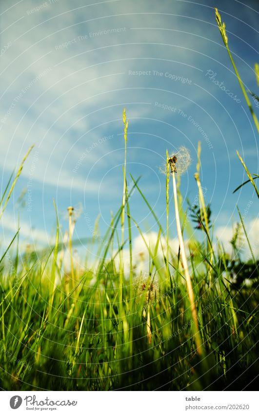 das Gras von unten ansehn . . . Natur Himmel grün blau Pflanze Sommer Wolken Erholung Blüte Frühling Zufriedenheit Umwelt Wachstum Frieden