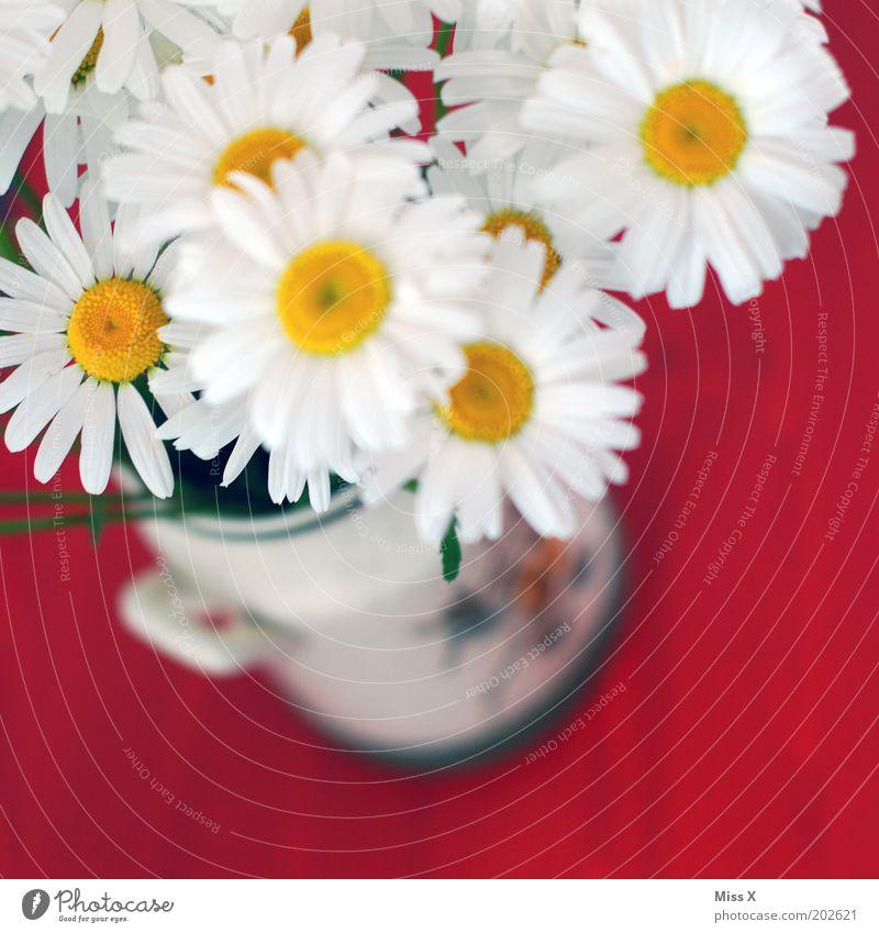 Marga II weiß Blume Pflanze rot Blüte Blühend Duft Blumenstrauß Vase Margerite