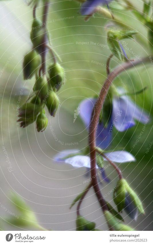 durchhänger Natur Blume grün blau Pflanze Farbe Wiese Blüte Frühling wild natürlich Stengel hängen Blütenknospen Grünpflanze dehydrieren