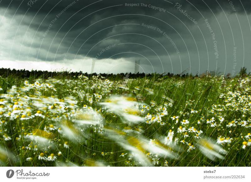 Blütensturm Landschaft Pflanze Gewitterwolken Blume Gras Wiese Blühend bedrohlich frisch gelb grün Kamille intensiv Sturmfront Wind Wetterumschwung dunkel