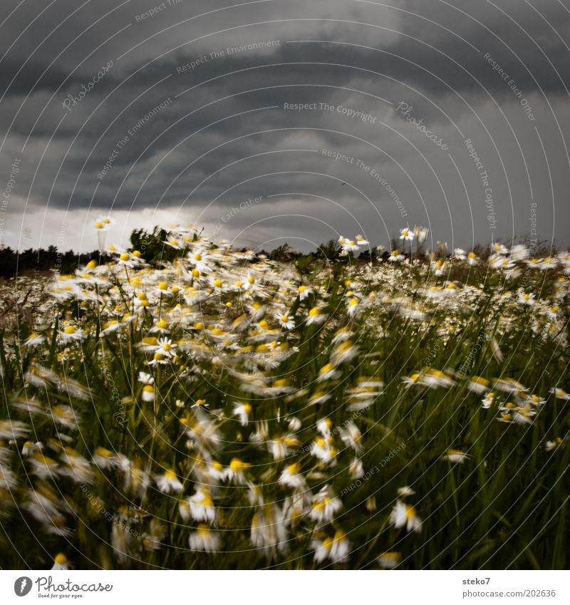 Blütensturm II Landschaft Pflanze Gewitterwolken schlechtes Wetter Unwetter Wind Sturm Blume Gras Wiese Blühend Tanzen bedrohlich dunkel grau grün
