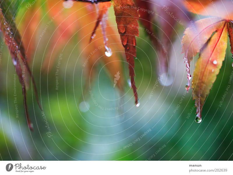 Maiwetter ruhig Natur Frühling Sommer Herbst Klima Klimawandel Wetter Regen Baum Blatt Ahornblatt frisch nass mehrfarbig grün rot Umweltschutz Farbfoto