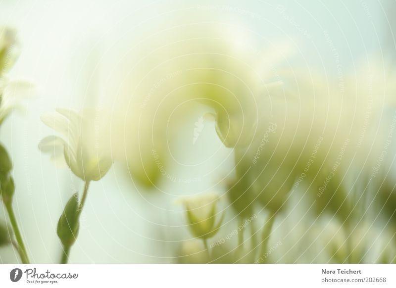 Blumenmeer Himmel Natur Pflanze grün weiß Blüte Gefühle Frühling Wiese Gras Garten träumen leuchten frisch Fröhlichkeit