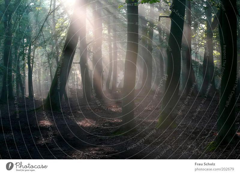 zum Meer Natur Baum ruhig Wald Holz Zufriedenheit Nebel harmonisch Zerstörung nachhaltig Morgen Morgendämmerung Buchenwald