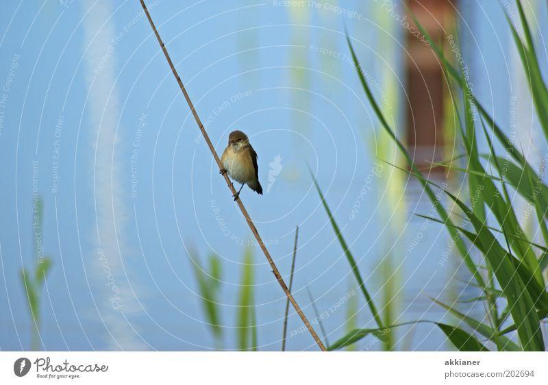Spatz am Stiel Umwelt Natur Pflanze Tier Küste Seeufer Wildtier Vogel hell blau grün sitzen Farbfoto mehrfarbig Außenaufnahme Tag Sonnenlicht Unschärfe Wasser