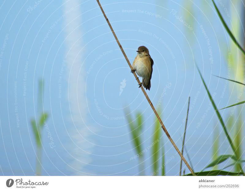 (Eis)Vogel am Stiel! Umwelt Natur Pflanze Tier Küste Seeufer Wildtier sitzen hell blau braun grün Schilfrohr Spatz Farbfoto mehrfarbig Außenaufnahme Tag Licht