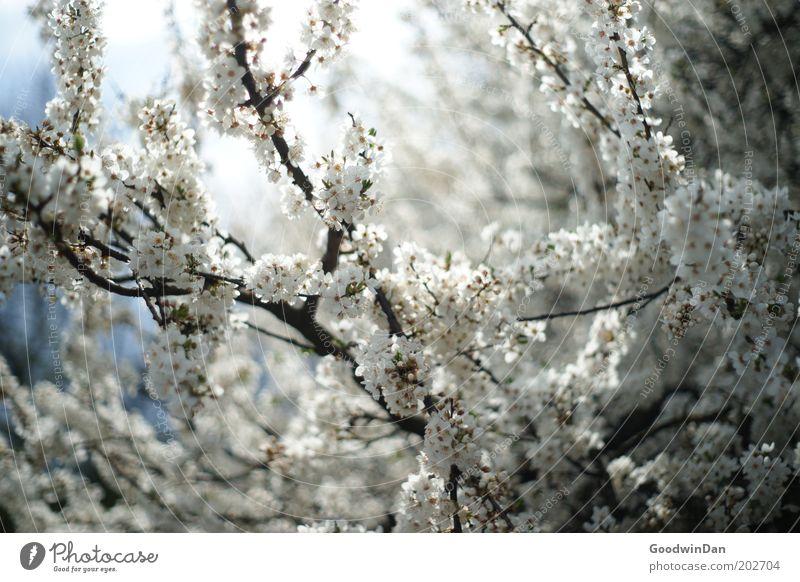 Blütentraum Natur schön Himmel weiß Baum blau Pflanze Wärme Luft Wetter Umwelt ästhetisch Blühend leuchten atmen
