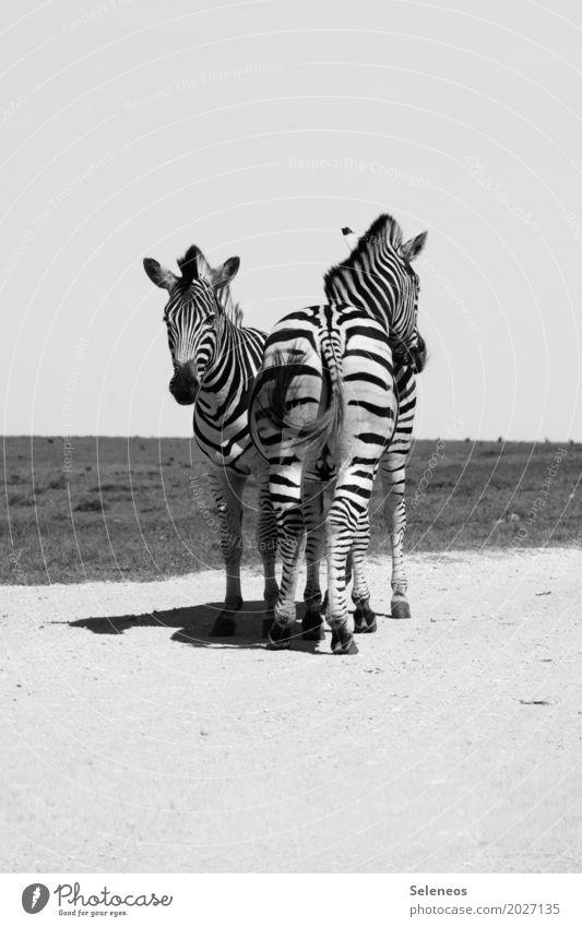 Richtungswechsel Ferien & Urlaub & Reisen Tourismus Ausflug Abenteuer Ferne Freiheit Safari Expedition Sommer Sonne Umwelt Natur Tier Wildtier Tiergesicht Zebra