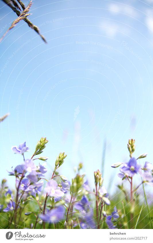 im nächsten leben werd ich... Natur schön Himmel Blume blau Pflanze Sommer Wolken Wiese Blüte Gras Frühling Garten Glück Park Feld