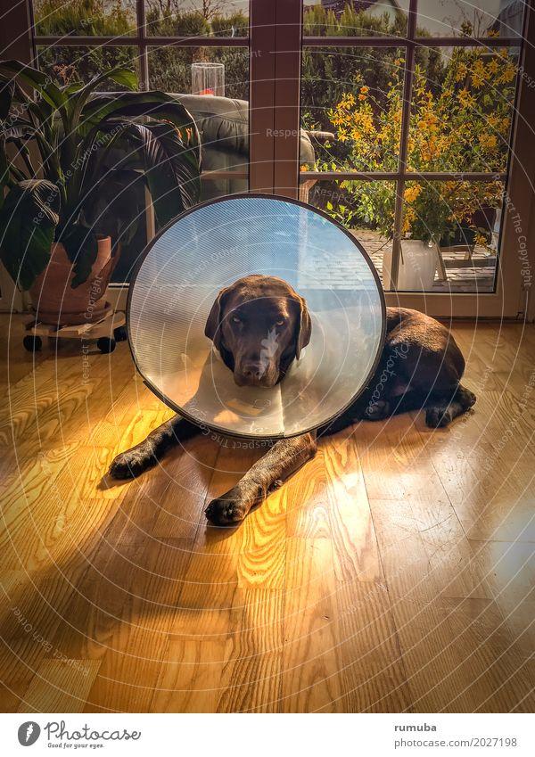 Labrador mit Halskrause Hund Erholung Tier braun liegen Schutz Krankheit Vertrauen Fell Haustier Wohnzimmer Fürsorge Parkett Tierliebe Tapferkeit