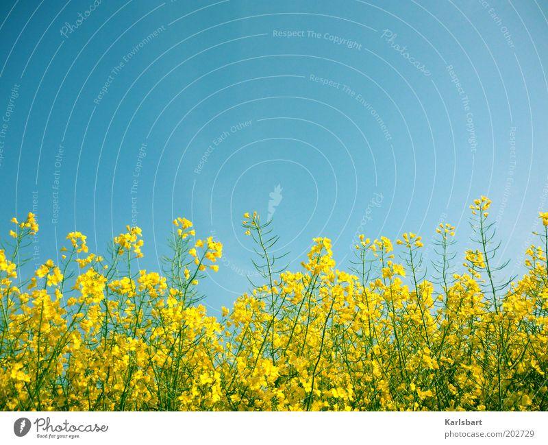 rapsody. in blue. Bioprodukte Gesundheit Sommer Wirtschaft Umwelt Natur Himmel Wolkenloser Himmel Frühling Pflanze Nutzpflanze Raps Rapsfeld Rapsanbau Feld gelb
