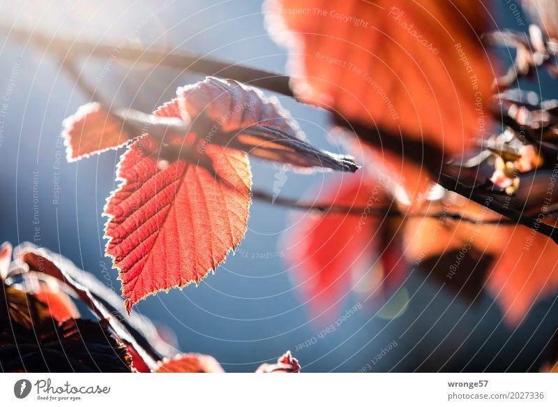 Frühlingsgefunzel I Natur Pflanze blau rot Blatt braun Stimmung Sträucher Schönes Wetter dünn Frühlingsgefühle Nutzpflanze Haselnussblatt Querformat rotbraun