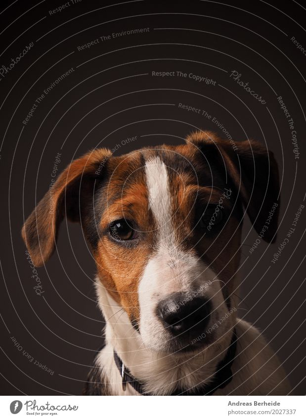 Jack Russell Terrier Welpe Haustier Hund Tierjunges listig Neugier niedlich puppy dog cute pet parson russel purebred young animal brown doggy mammal breed