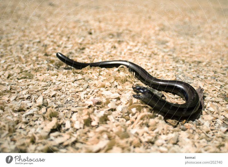 Sonnenanbetung Natur Sommer Tier schwarz Wärme Wege & Pfade Erde offen Wildtier liegen Pause Tiergesicht Schönes Wetter Sonnenbad geschlossene Augen Maul