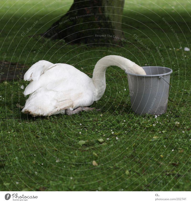 schwan im eimer Natur weiß Baum Tier Wiese Gras lustig Park Wildtier Flügel Neugier Appetit & Hunger skurril Fressen brechen Schwan