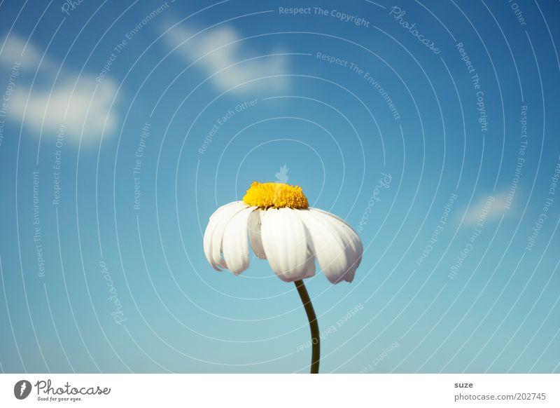 Blumenstockbild Himmel Natur blau Pflanze Blume Sommer Gefühle Blüte Frühling Luft frei frisch natürlich ästhetisch authentisch zart