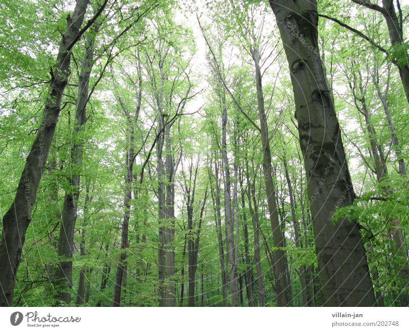 Riesenwald Natur Himmel Sommer Baum Wald Holz braun grün Farbfoto Außenaufnahme Menschenleer Tag Froschperspektive